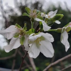 四季桜・開花中