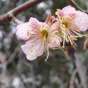 椿寒桜・開花宣言2.20