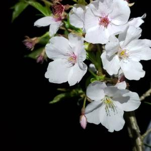 オオシマザクラの夜桜4.03