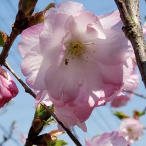 八重紅虎の尾桜