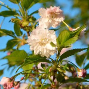 兼六園菊桜4.08