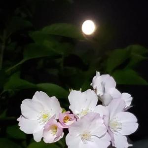 満月と御殿場桜4.08
