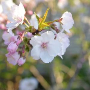御殿場桜4.08