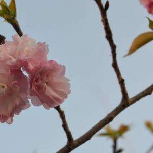 八重紅虎の尾・開花中4.09