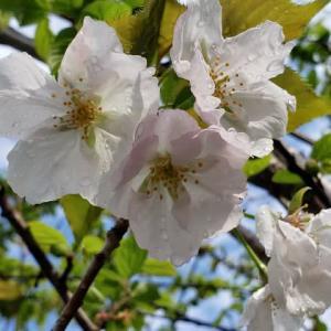 桜・大提灯開花中4.19