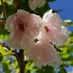 桜・麒麟 開花中4.22