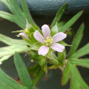 アメリカフウロの花