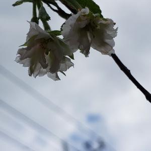 十月桜・開花中9.21