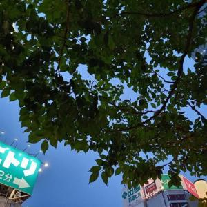 タカトウコヒガン桜5.26