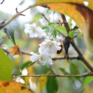 十月桜が9.02開花