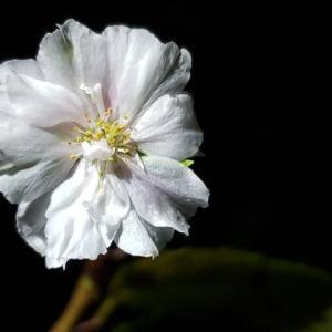 十月桜・夜桜9.05