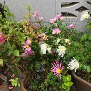 稽古の花は嵯峨菊で