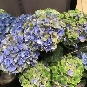 駅の花屋さんの 紫陽花⑤