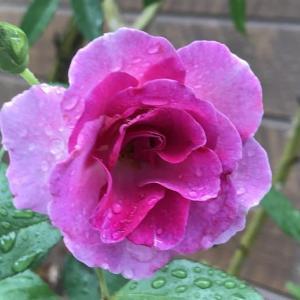 雨の薔薇と 紫陽花⑧