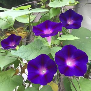 朝の花徘徊