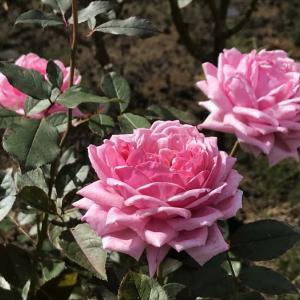 ドリプレローズガーデンの秋バラ