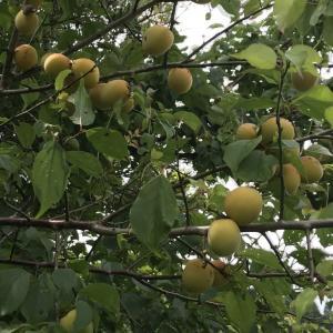 ギリギリで梅を収穫