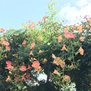 夏を呼ぶ花 ノーゼンカヅラなど
