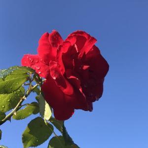 外仕事日和・苺の植え付け