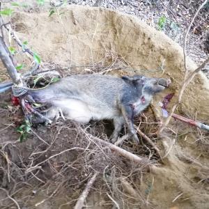 広島 狩猟 連日捕れ捕れ