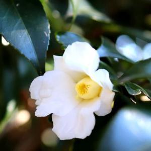 白椿の侘助が開花しました。