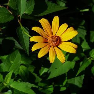 やっと分かった花の名前~キクイモモドキ