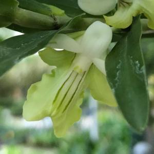 デンドロビウム・エリプソフィラム(Dendrobium ellipsophyllum)