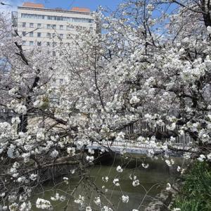 大供第1公園(桜公園)@岡山市北区厚生町の桜 2020年