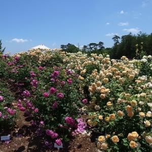 世羅高原農場 花の森 イングリッシュローズ@広島県世羅郡世羅町