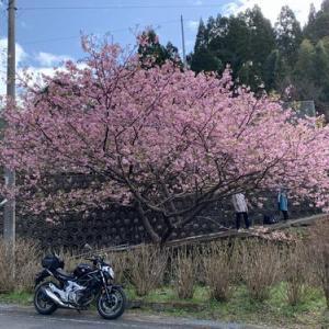 河津桜とか梅とかでウロウロ
