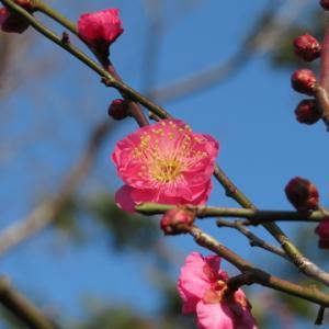 池上梅園の梅(2020.1.19)