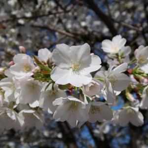 池上本門寺の桜(2020.3.24)