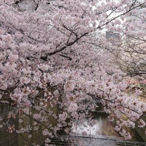 目黒川のお花見