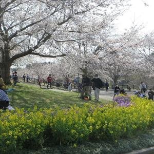 桜は咲いていても、飛行機はほとんど飛ばない成田の さくらの山
