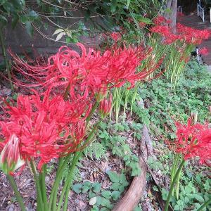 佐倉東高わきの階段に咲いている曼珠沙華(彼岸花)