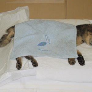 寝たきりの猫