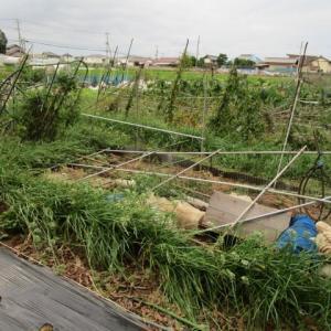 9月24日・ビニールハウス解体とニラ捨て刈り!