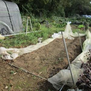9月25日・雨除けハウス解体後葉菜類を手抜き農法で播種!