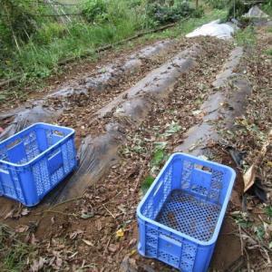 10月6日・サツマイモ3品種本収穫完了!