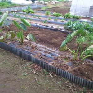 11月13日・サトイモ掘り出しました!