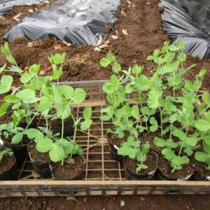 12月6日・エンドウ定植、短形自然薯試し掘り!