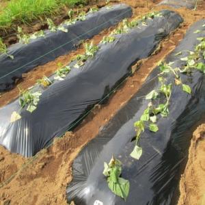 5月27日・定植したサツマイモ苗を遮光!