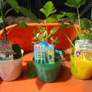 6月12日・ズッキーニ、トウガラシを定植しました!