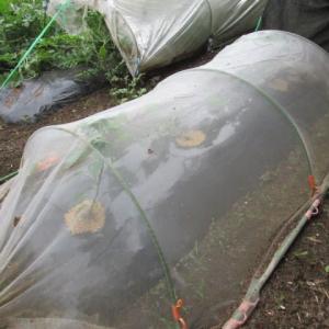 6月30日・ズッキーニのお世話、トウモロコシ追加定植!