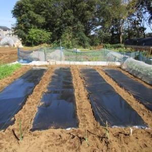 10月26日・タマネギ畝準備完了!