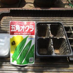 6月15日・オクラ播種!