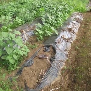 6月18日・ジャガイモ収穫!