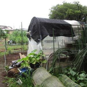 6月20日・袋栽培のゴボウ収穫!
