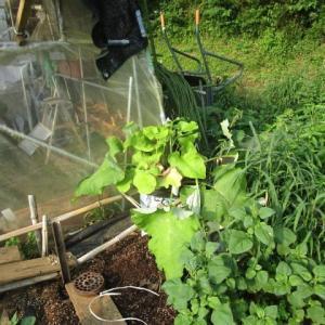 7月10日・袋栽培のゴボウ収穫!(2)