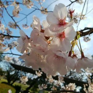 花追い、第二弾『桜』